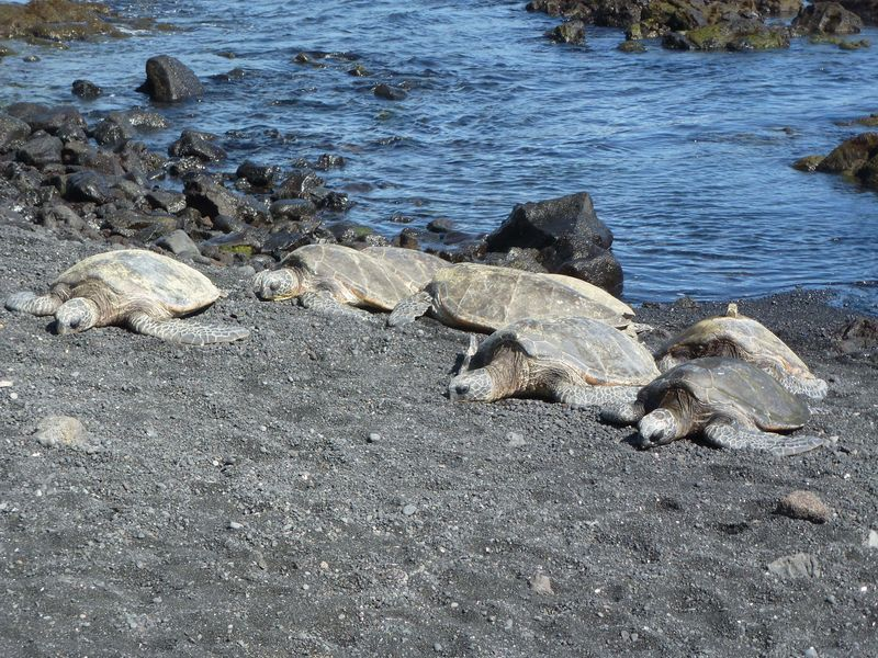 Turtles at puna luu