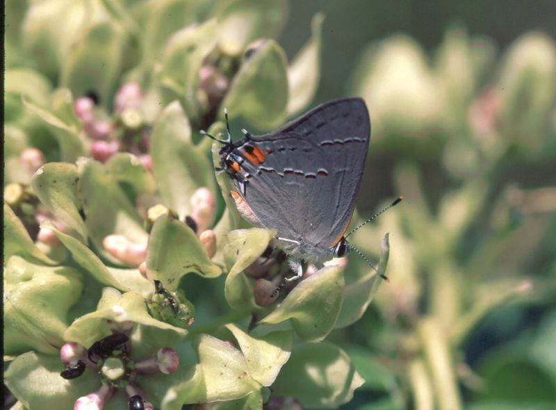 Hairstreak_3