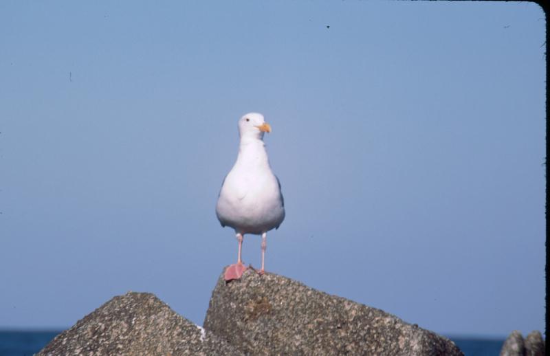 Western_gull_2