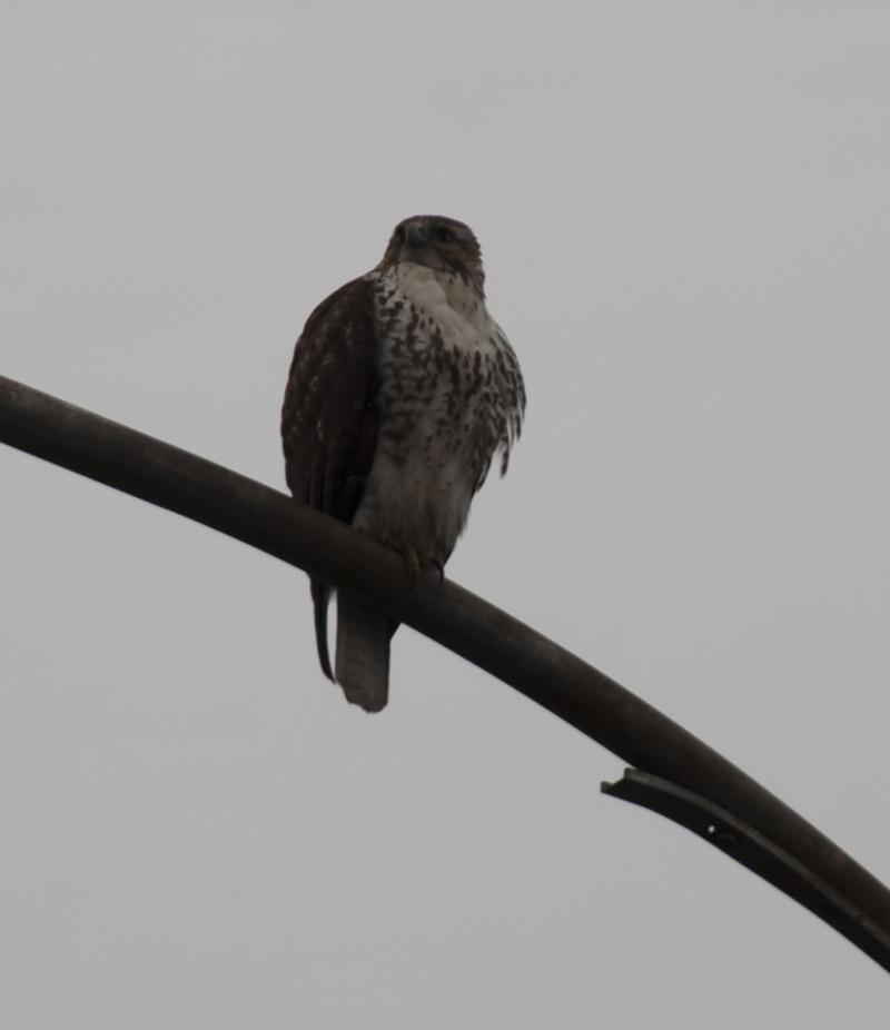 Broadwingedhawk1